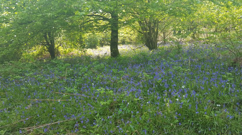 Bluebells above South Zeal