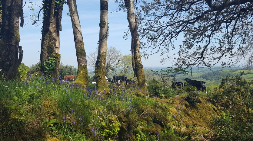 Cattle on Dartmoor above South Zeal